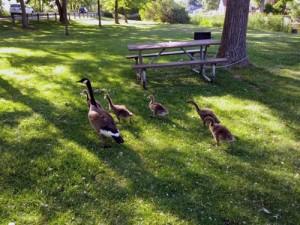 Goodwin Park geese
